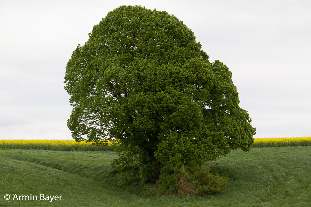 Baum-April-2018-2.jpg